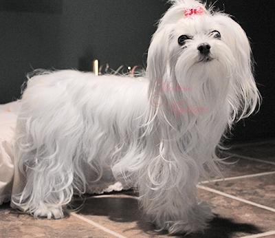 Maltese-Mystique-Dog-Scarlet-1.jpg