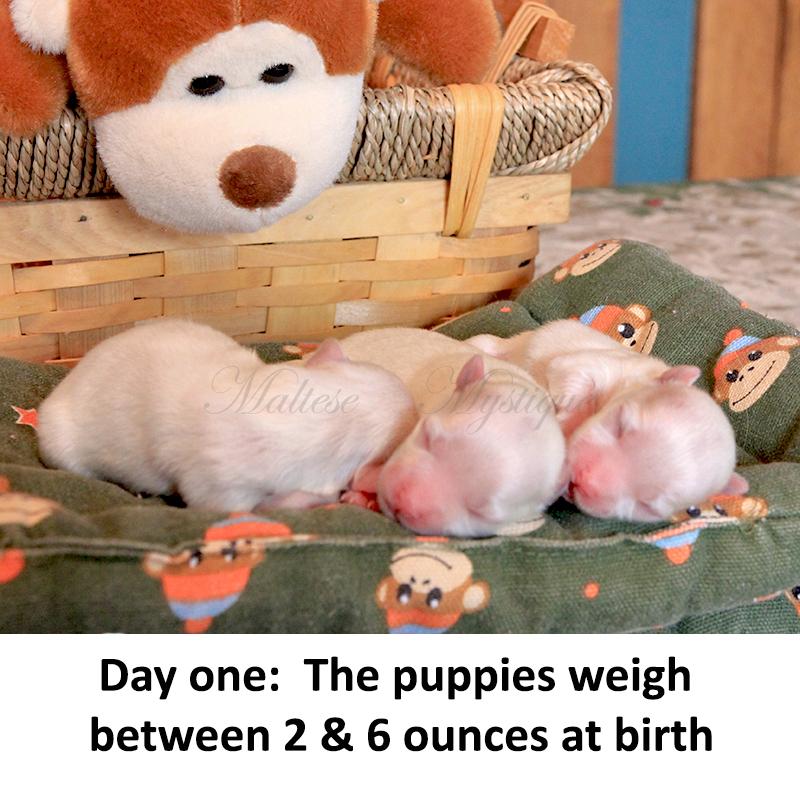 Newborn Maltese Puppies