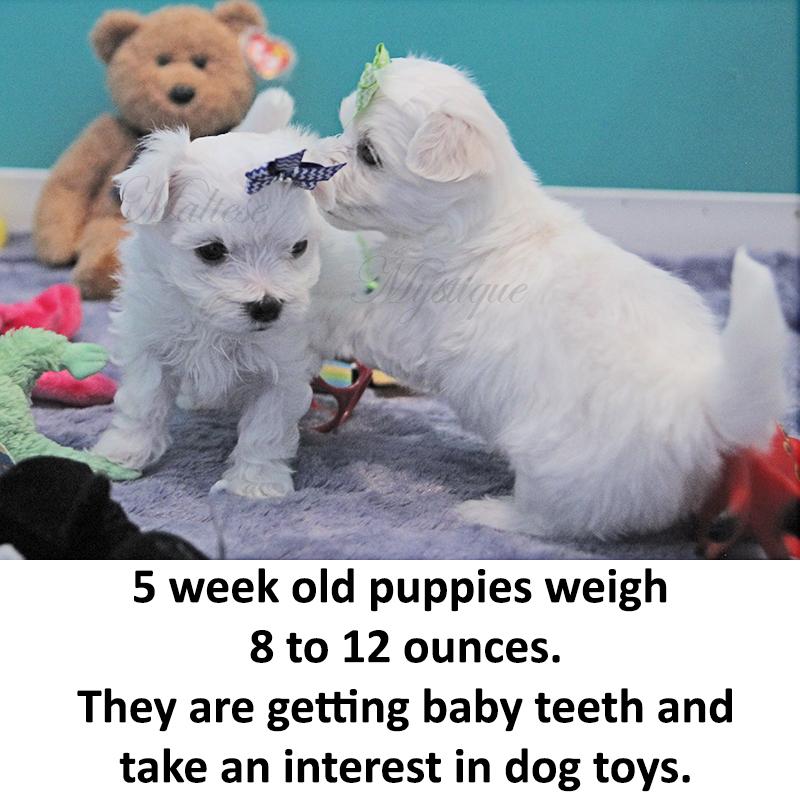 5-week-old-Maltese-Pups.jpg