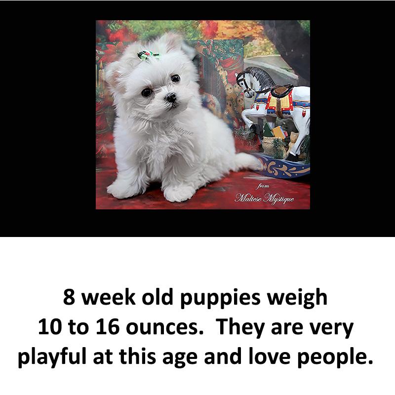 8-week-old-Maltese-Pups.jpg