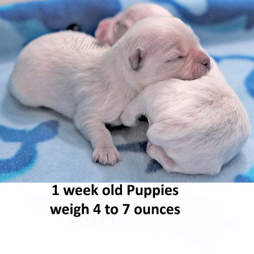 puppy size maltese mystique