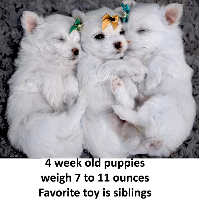 4-week-old-Maltese-Pups.jpg