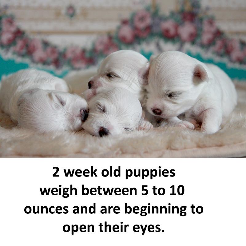 2-week-old-Maltese-Pups.jpg