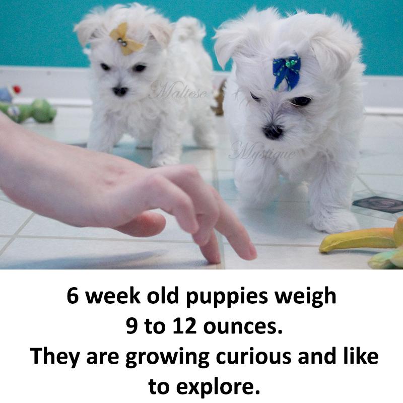 Puppy Size — Maltese...