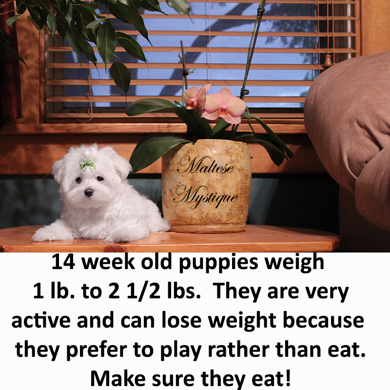 14-week-old-Maltese-Pup-Mite.jpg