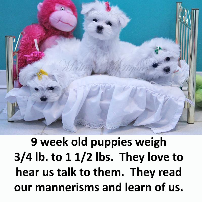 9-week-old-Maltese-Pups.jpg