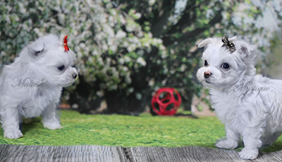 My-Maltese-Mystique-Puppy-41.jpg