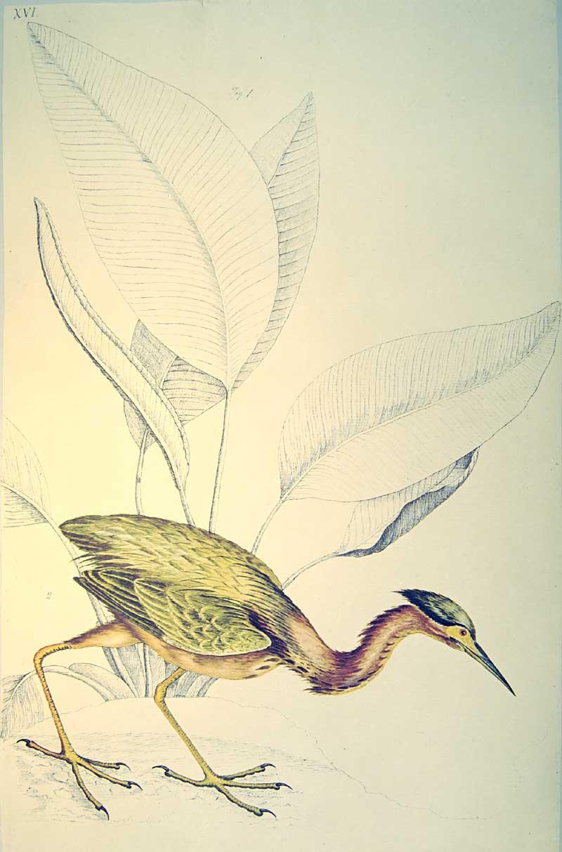 Bartram Marshbird.jpg