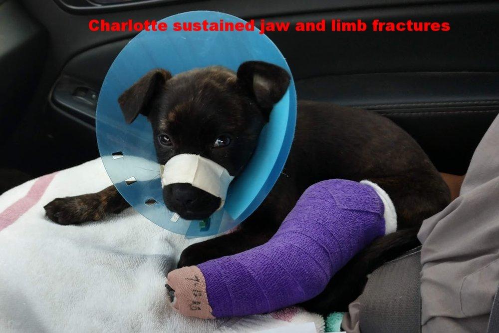 Charlotte bandaged up.jpg