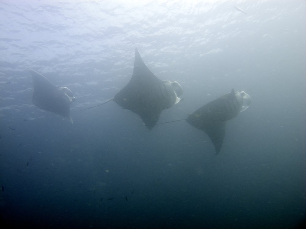 Multiple Mantas