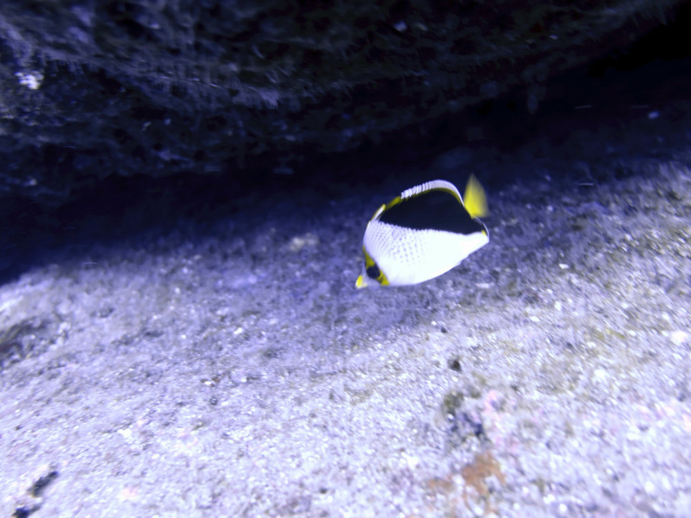 Tinker's butterflyfish