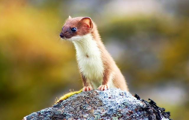 Cute Weasel