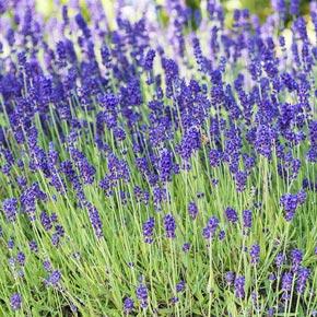 Lavender, Phenomenal Variety