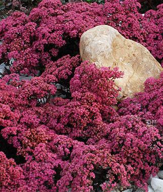 Sedum, Dazzleberry Variety