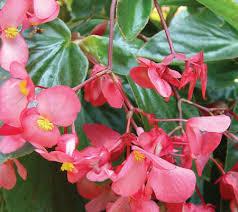 Dragon Wing Pink Begonias