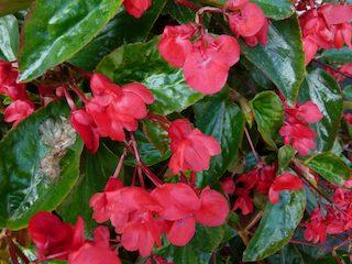Dragon Wing Red Begonias