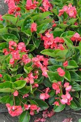 Pink Whopper Begonia