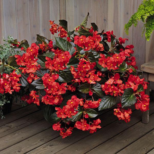Red Whopper Begonia