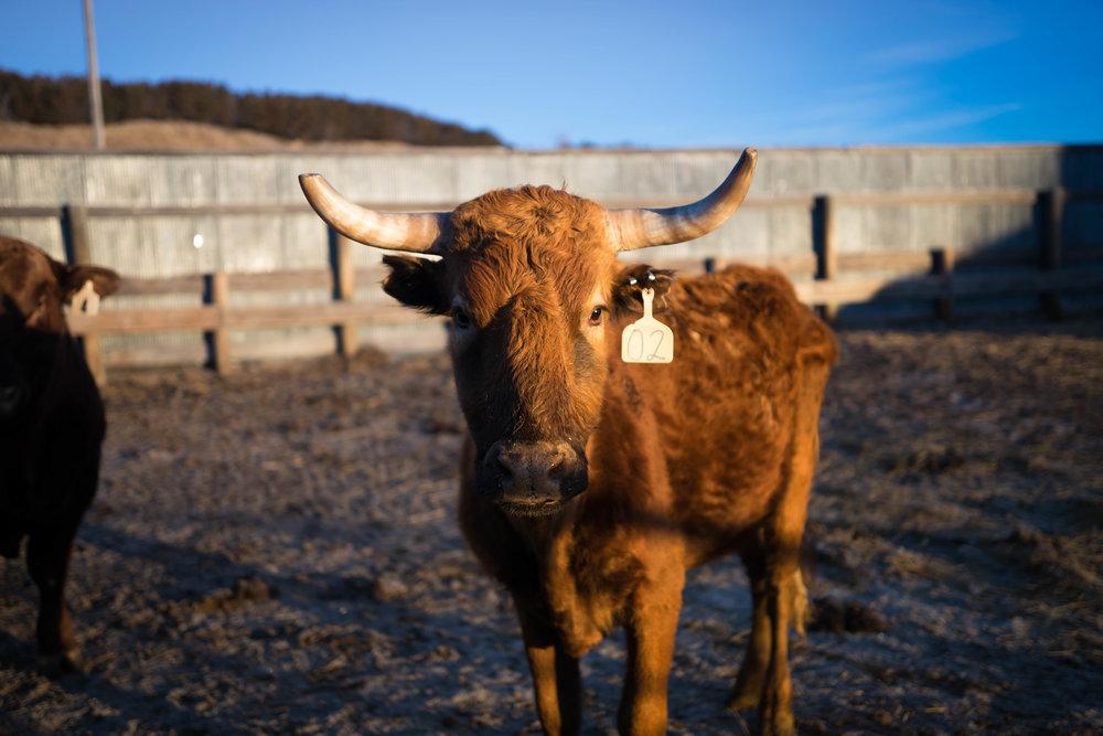 bull on farm in nebraska