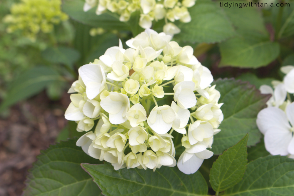 my white flowering hydrangea