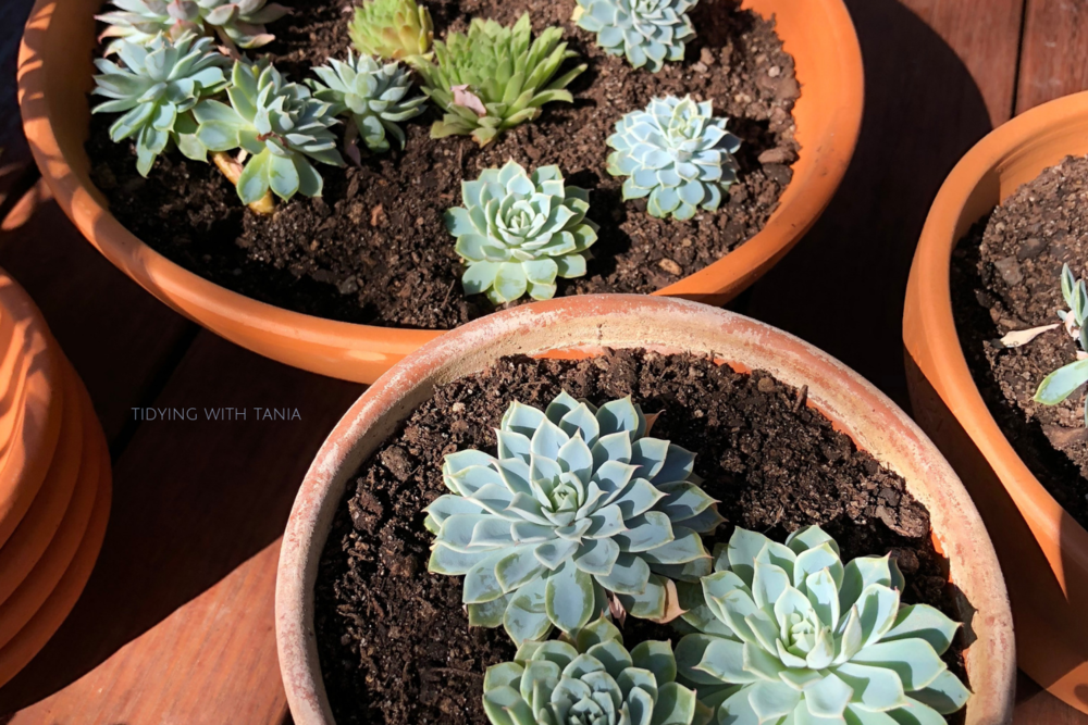succulents repotted in shallow clay pots | Tidying with Tania