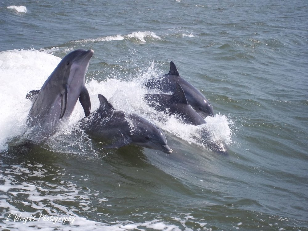 Dolphin/Bird Watching - Follow the shrimp boats coming in from the Mississippi Sound to catch sights of bottle-nosed dolphins playing in the wave or watch ospreys soaring above the water and diving for fish. Bring the family along for a trip filled with education and fun in the sun!Picture by E Wright Photography