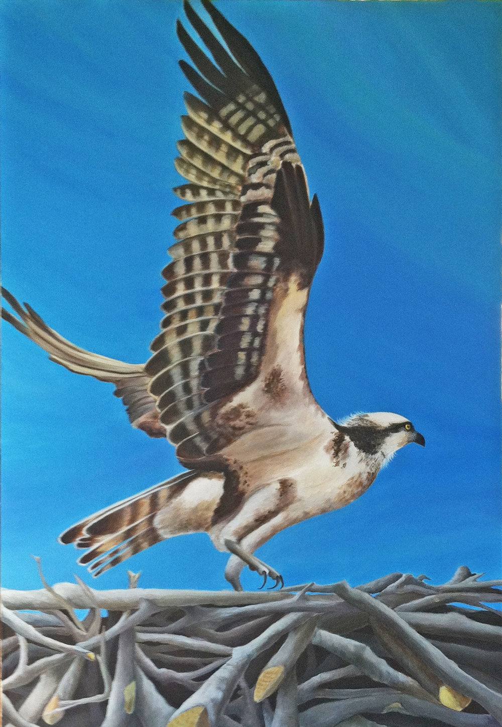 In for a Landing ~ Osprey. Acrylic on Canvas