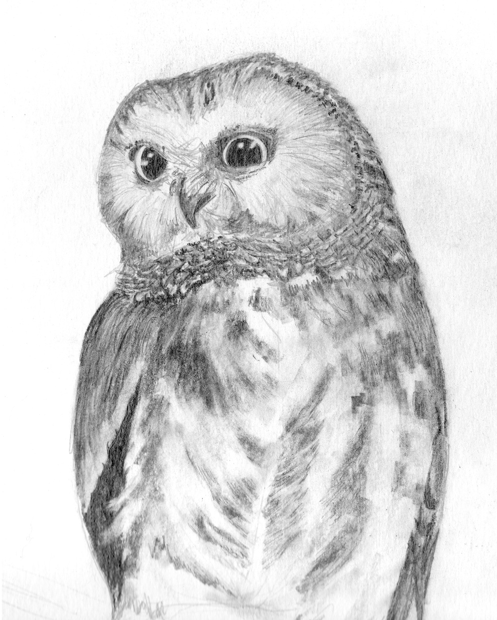 Saw-Whet Owl Study, Graphite Pencil on paper