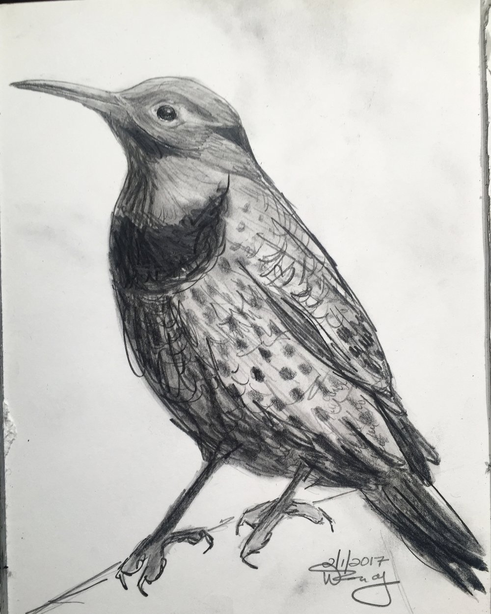 32 365 art a day pencil sketch northern flicker nature focused artist wendy wetherbee