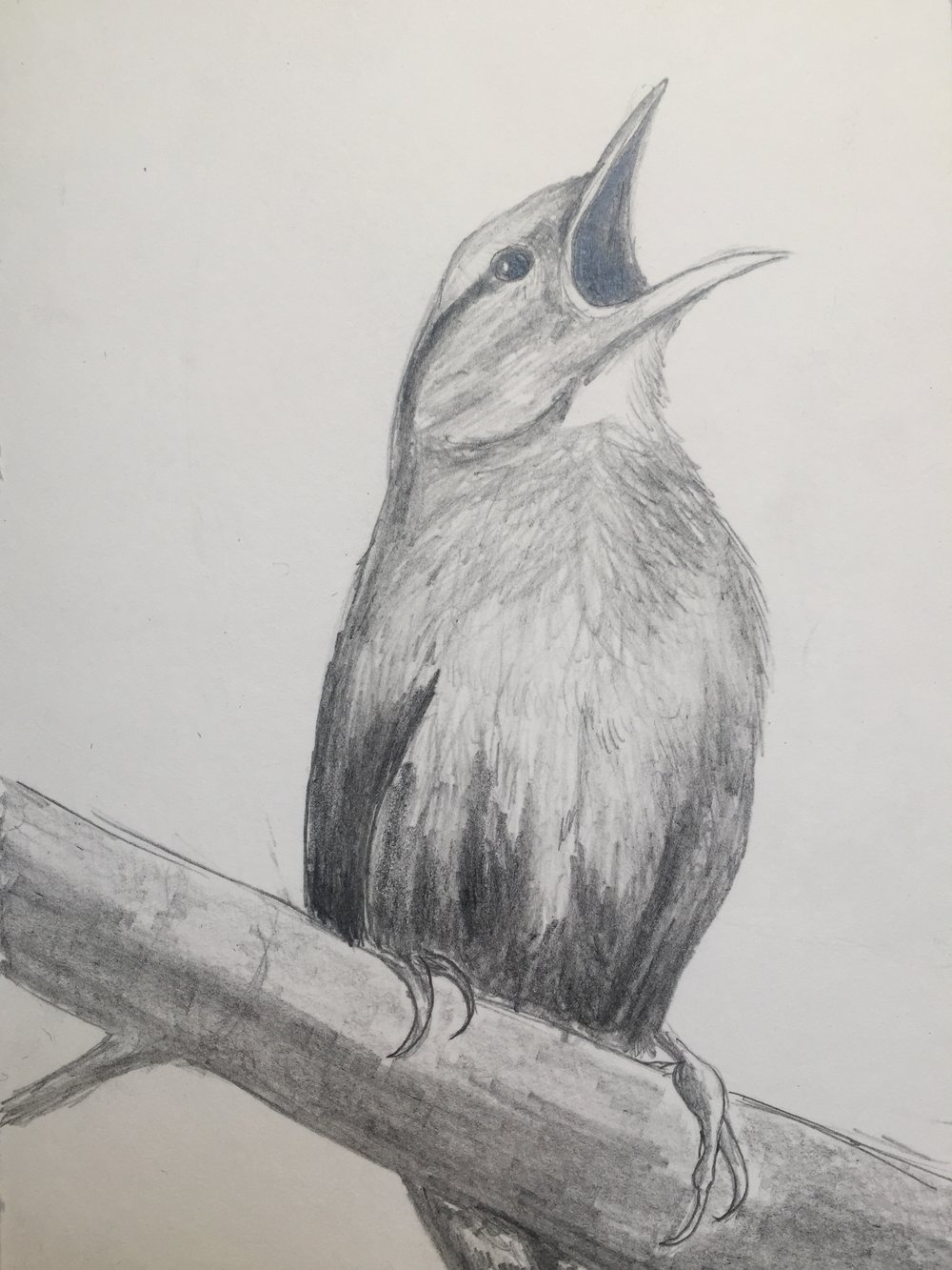 Birds artaday2017 art challenges art nature pencil drawingwendy wetherbee march 27 2017 brid drawing drawingaday2017 bird drawing graphite