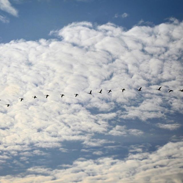 Flight across the clouds. . . . .#geese #flight #artistsoninstagram #naturephotography #nikonphotography #nikonp900 #winterday #lookup