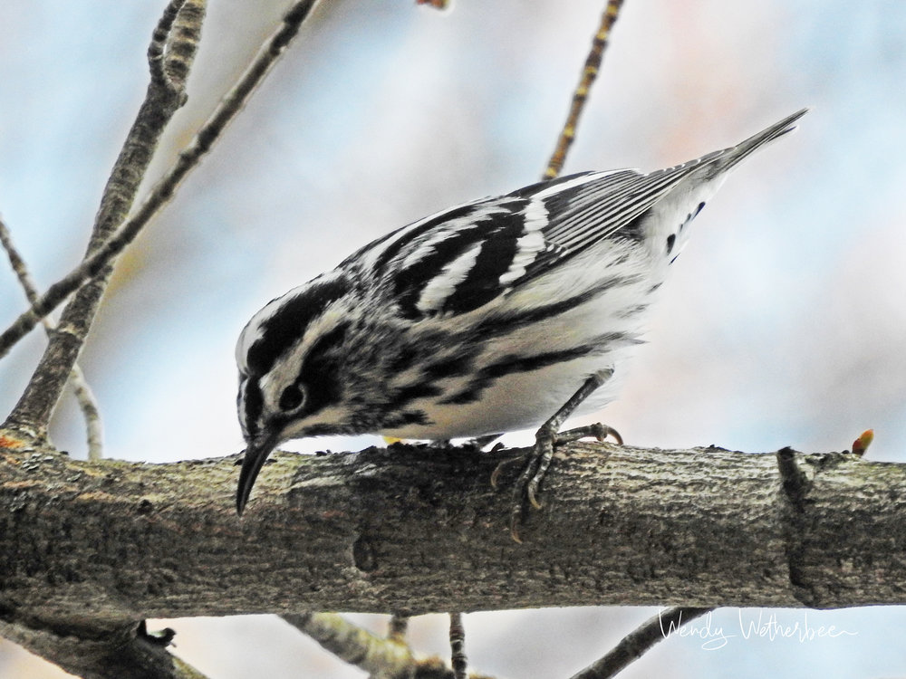 Black and White Finery. Black and White Warbler © Wendy Wetherbee