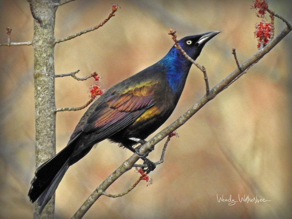 Rainbow Bird - Grackle ©Wendy Wetherbee