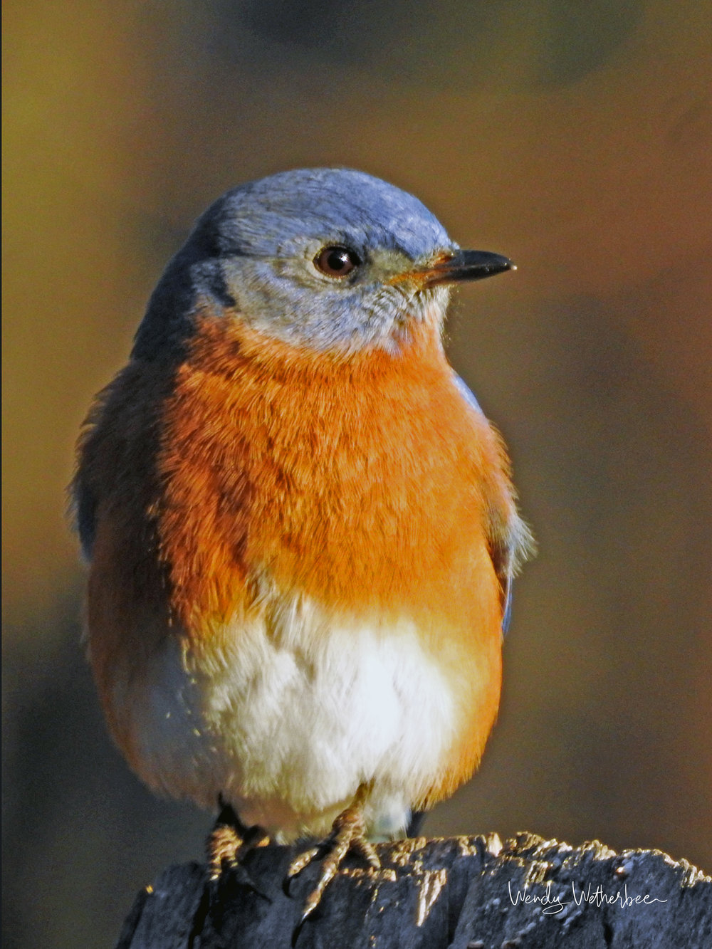 Portrait of a Bluebird © Wendy Wetherbee