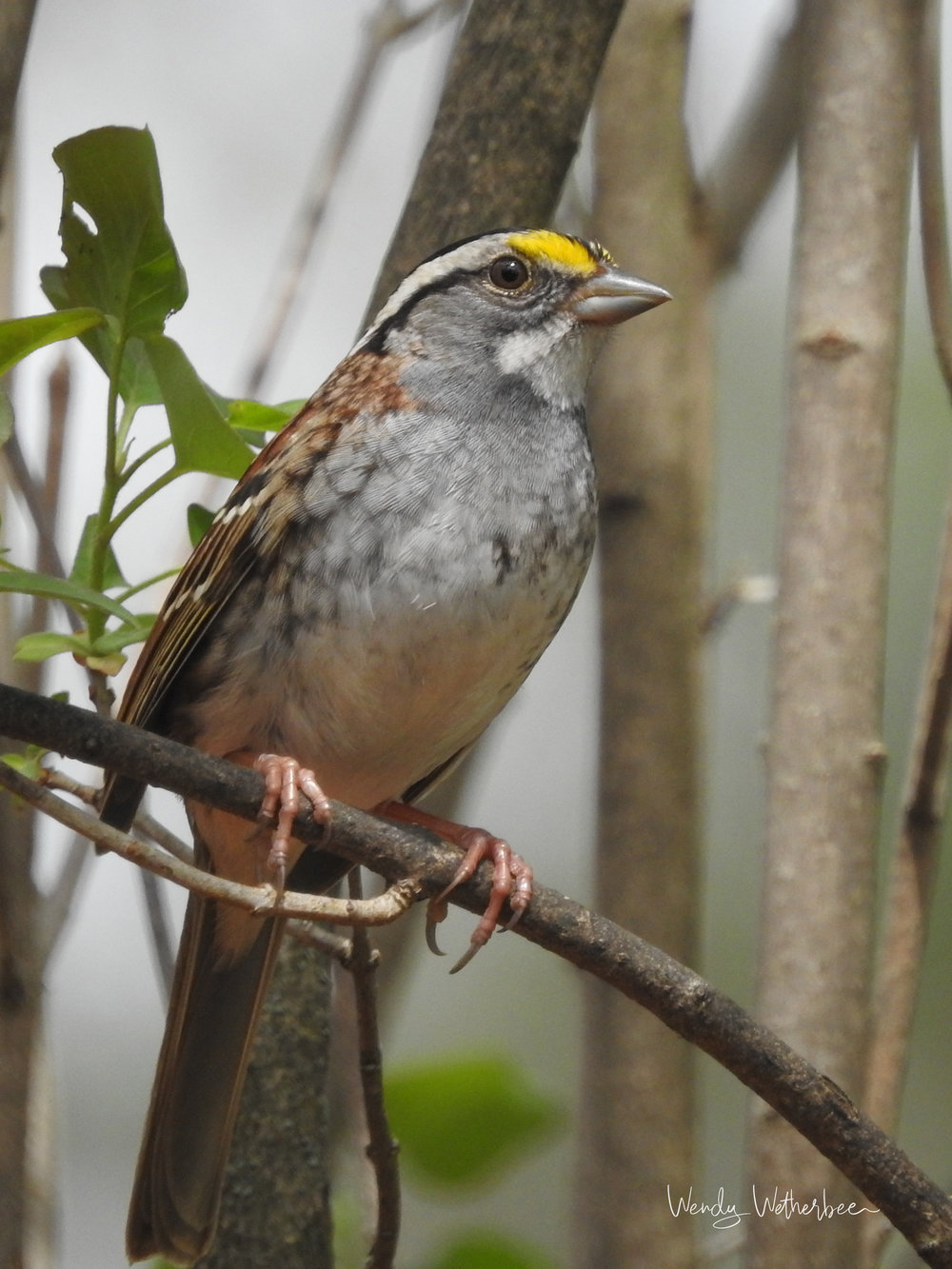 White Throated Sparrow © Wendy Wetherbee