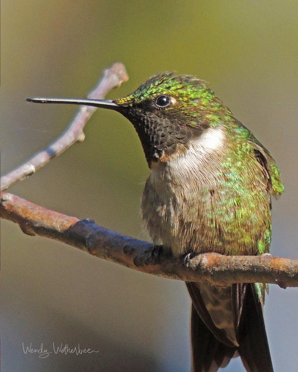 Portrait of a Hummingbird ©Wendy Wetherbee