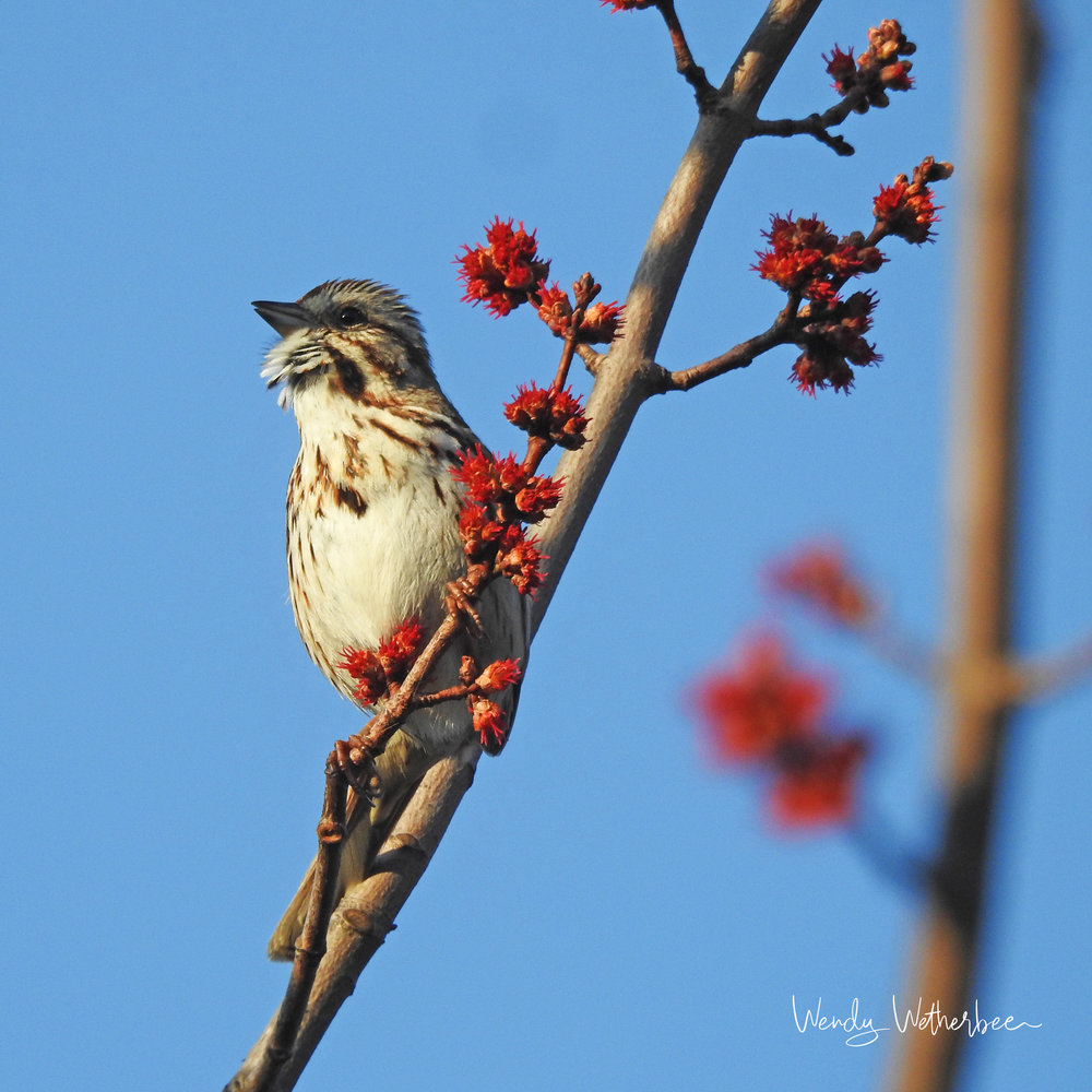 Song of the Song Sparrow. © Wendy Wetherbee