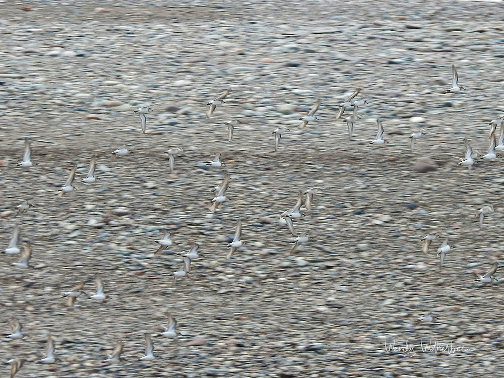 Pebbles and Plovers ©Wendy Wetherbee