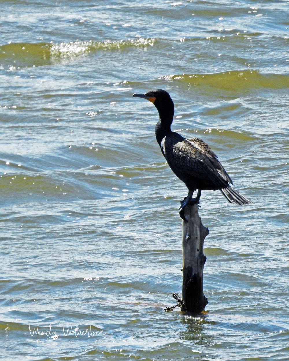 Keeping watch - Cormorant © Wendy Wetherbee