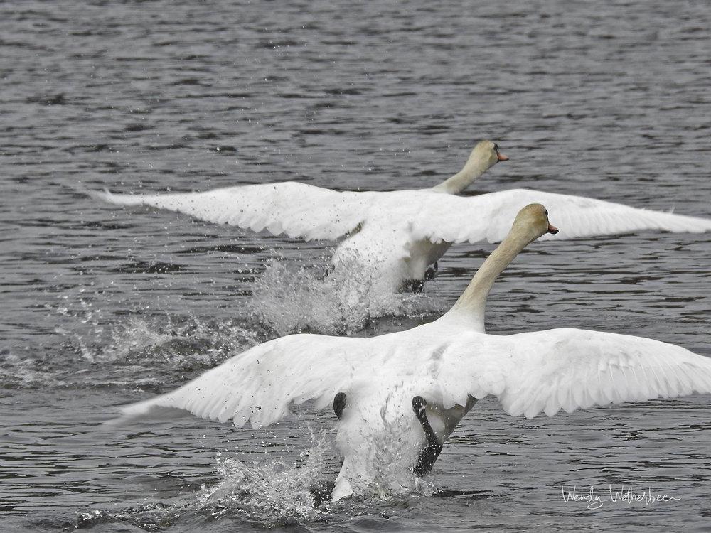 See Ya! Mute Swans. © Wendy Wetherbee