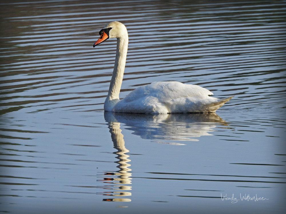 Portrait of a Mute Swan. © Wendy Wetherbee