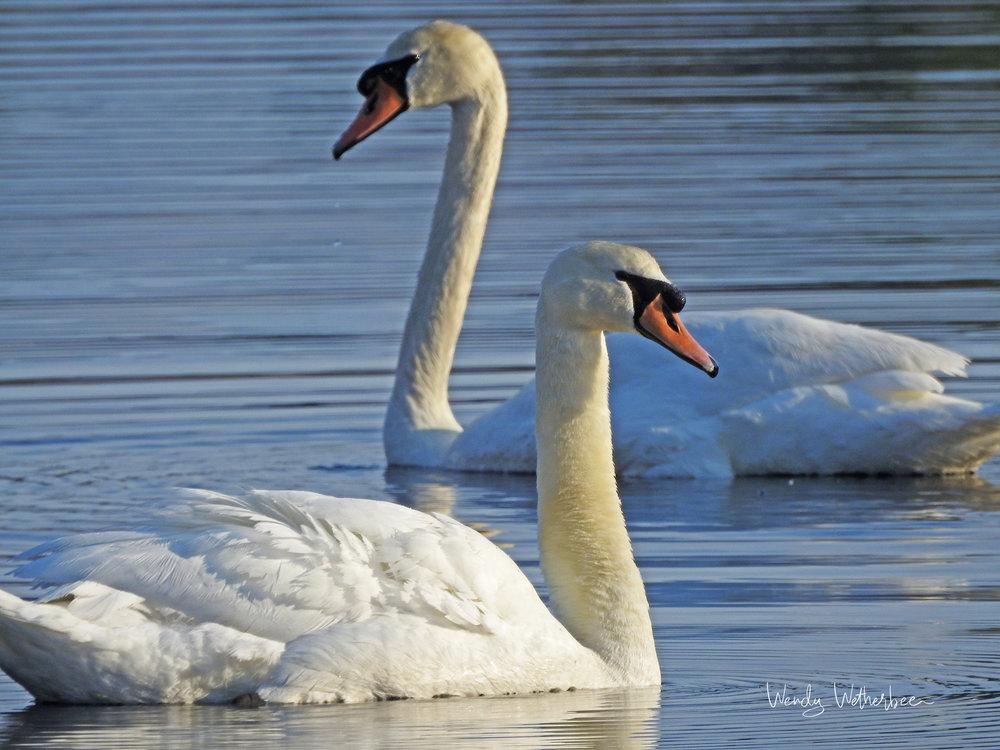 Lovers. Mute Swans. © Wendy Wetherbee