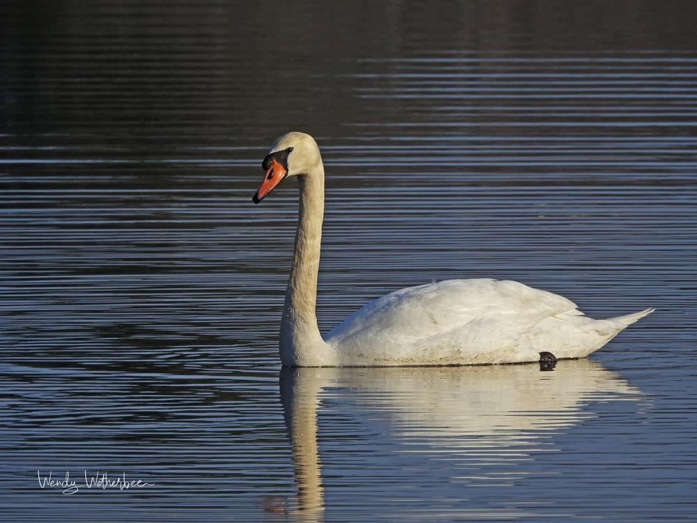 Sunlit Swan. Mute Swan. © Wendy Wetherbee