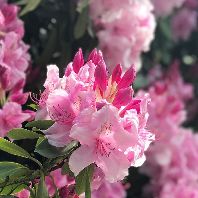 "Oh what a(nother) beautiful morning! ☀️🌸🌺 Not bad for Hump Day, eh? And it's a short week 🙌🏼 Side note: I just got busted snapping this pic of my neighbour's rhododendron 😳 ""Is that for instagram?"" 😂 She knows me too well! 🙈 Have a beautiful day! J x #themotherhub #humpday #rhododendron #plantlife #springblooms #inthepink #essexgarden #plantstalker #awkward"
