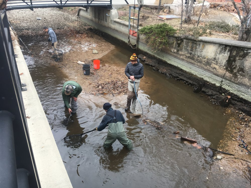 Fish being caught and put into buckets where they were run over to Boulder Creek (about 100ft to the right of this photo).