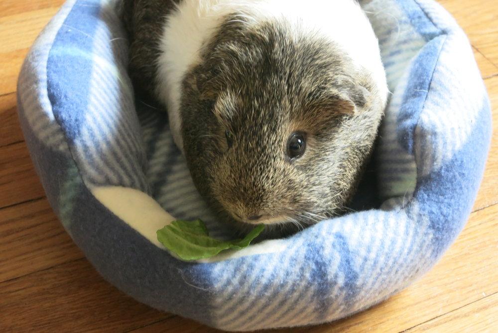 guinea pig cuddle cup