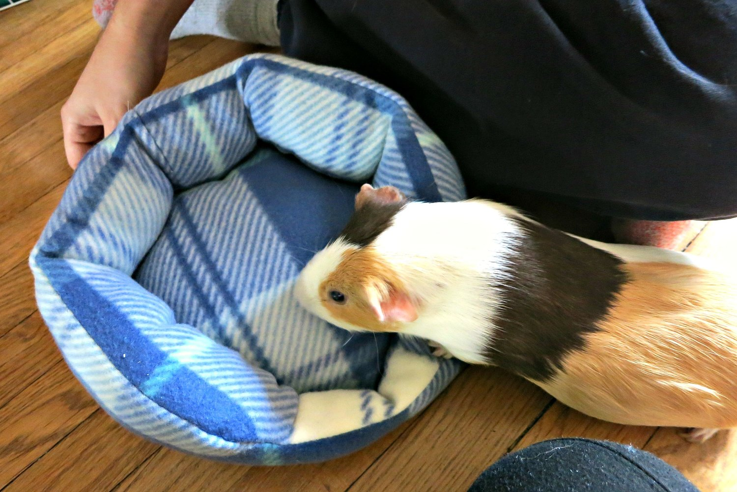 How To Sew A Guinea Pig Cuddle Cup Bed Picture Healer