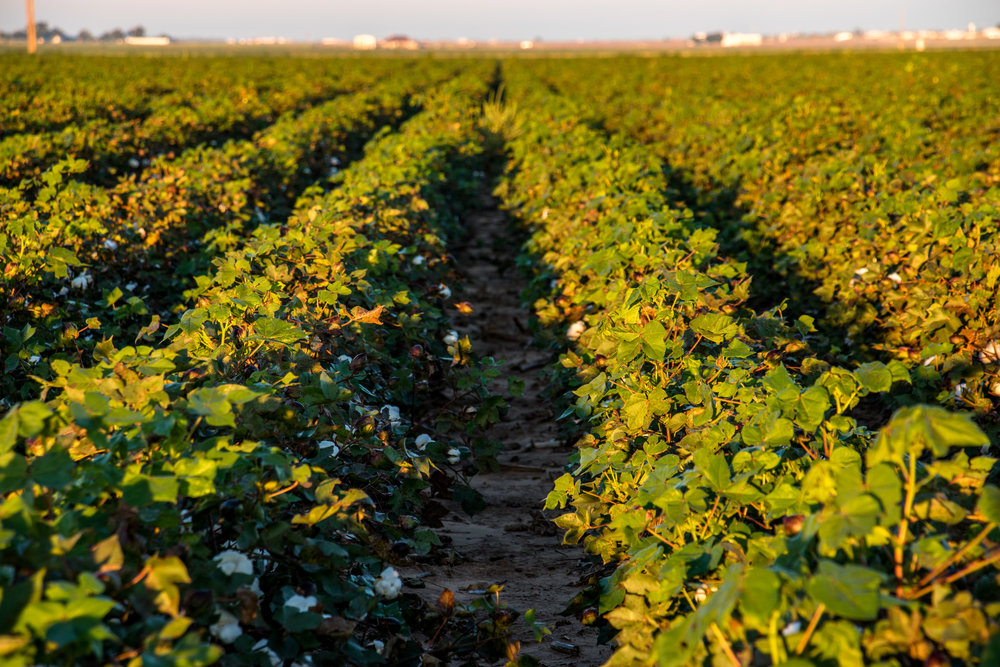 Our cotton is grown on our 90-year-old family farm near Lubbock, Texas. -