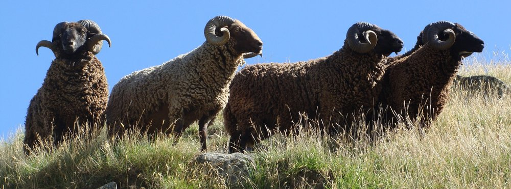 Pihepe_Rams_Banks_Peninsula
