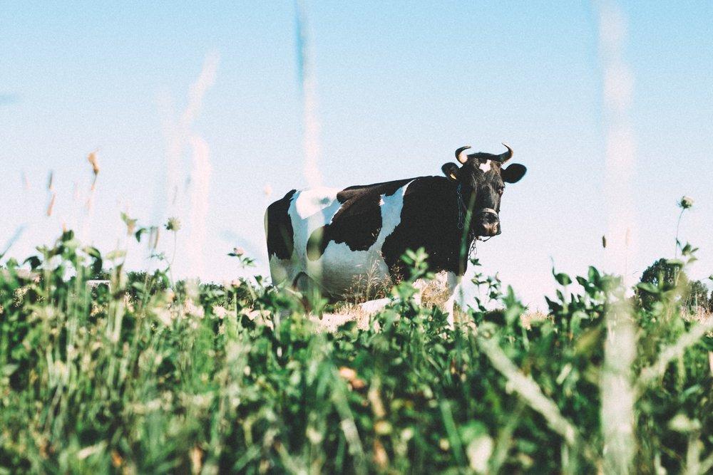 cow-1031017.jpg